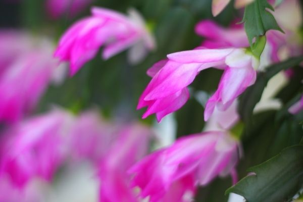 pink flowers on holiday cacti