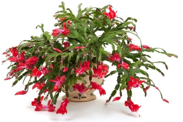 Large red christmas cactus in full bloom