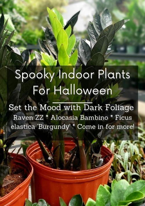 dark foliage for Halloween houseplants