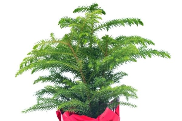 small norfolk island pine in red container