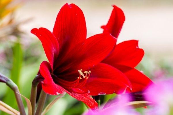 closeup of red amaryllis flower