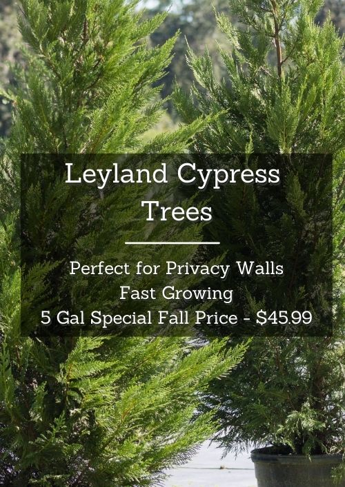 leyand cypress trees on sale