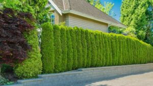 example of small evergreens making a living fence around a house