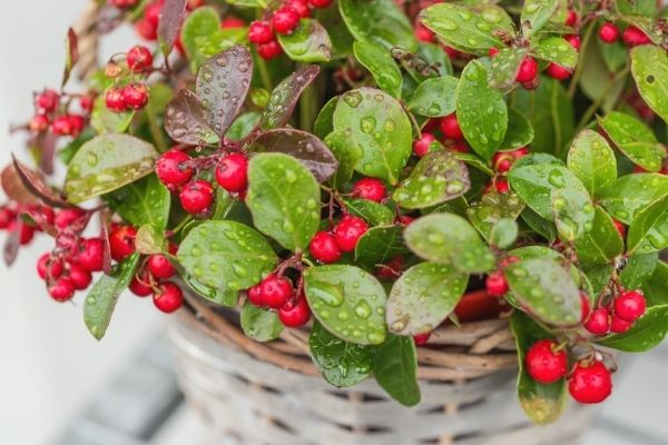 wintergreen teaberry plant full of red berries covered in dew