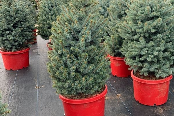 blue spruce trees in red containers for christmas