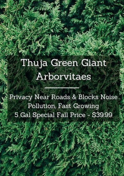 Thuja Green Giants on sale