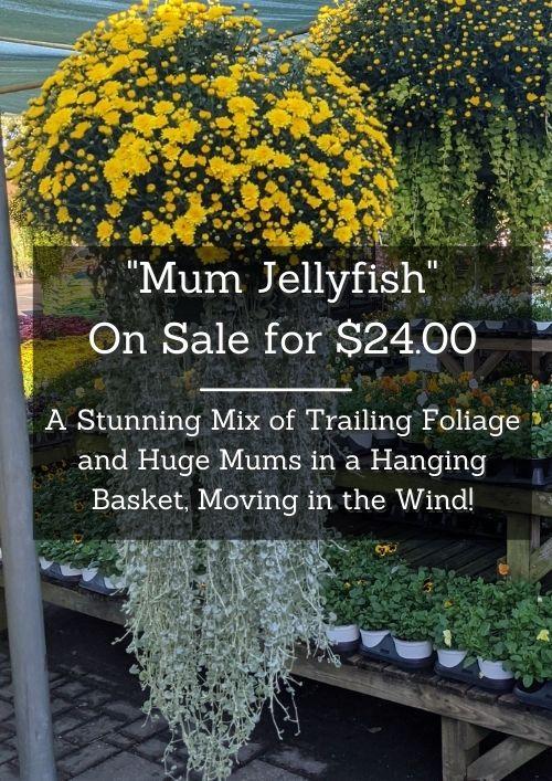 mum jellyfish hanging baskets with trailing foliage