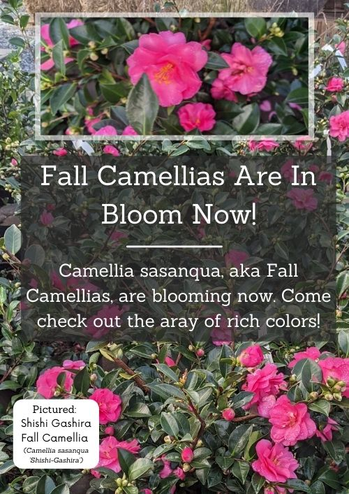 shishi gashira blooming pink camellias