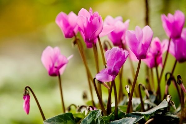 purple cyclamen with clear silhouette over green foliage