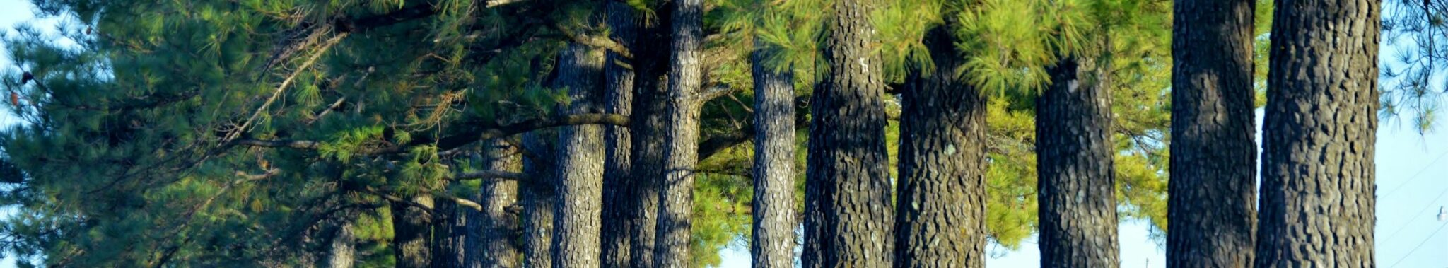row of pines Trees Department Banner Fall