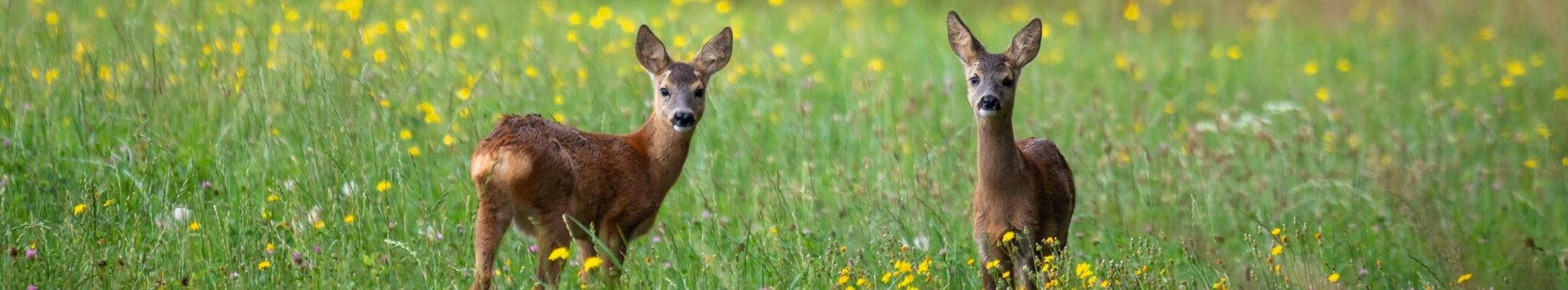 two fawns in a meadow looking at camera