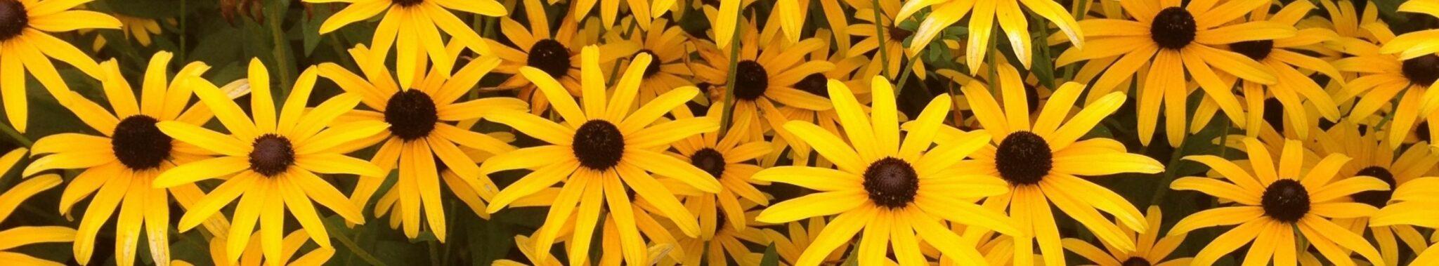 field of yellow flowers rudbeckia black eyed susans
