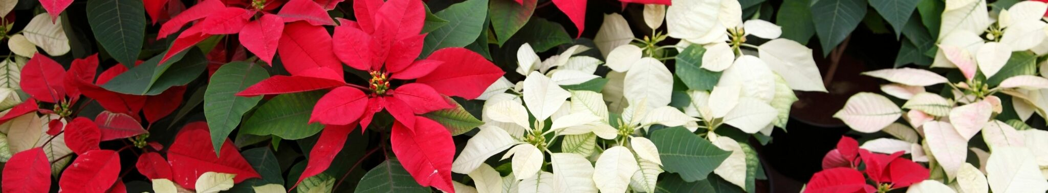 group with lots of poinsettias red and white christmas flowers
