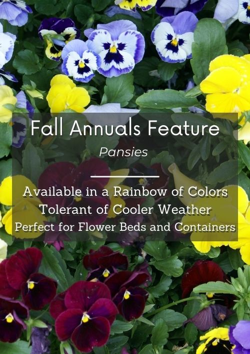 variety of cool weather pansies grouped together