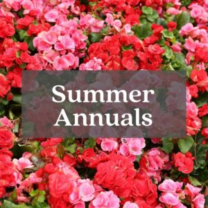pink and red begonias summer annuals flowers