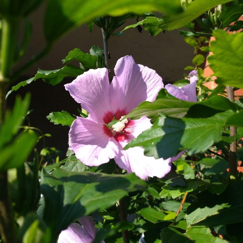 Swamp Rose Mallow Hibiscus grandiflorus