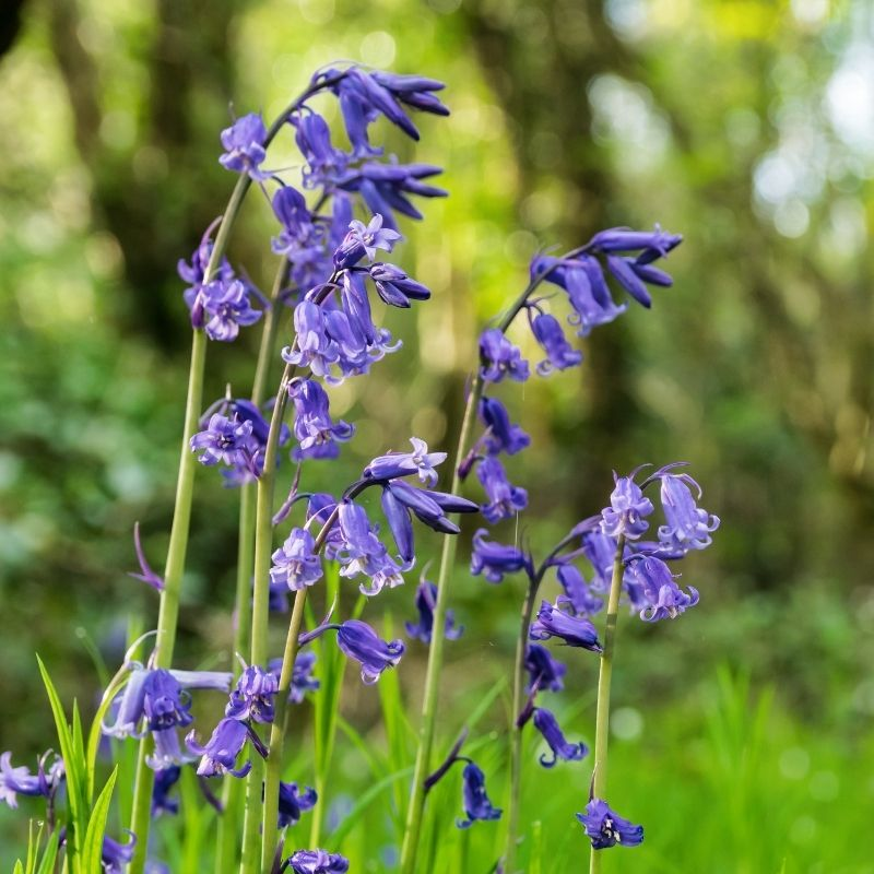 bluebells blooming in early spring in shady meadow