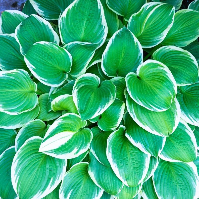 bunch of hosta leaves in a shady area