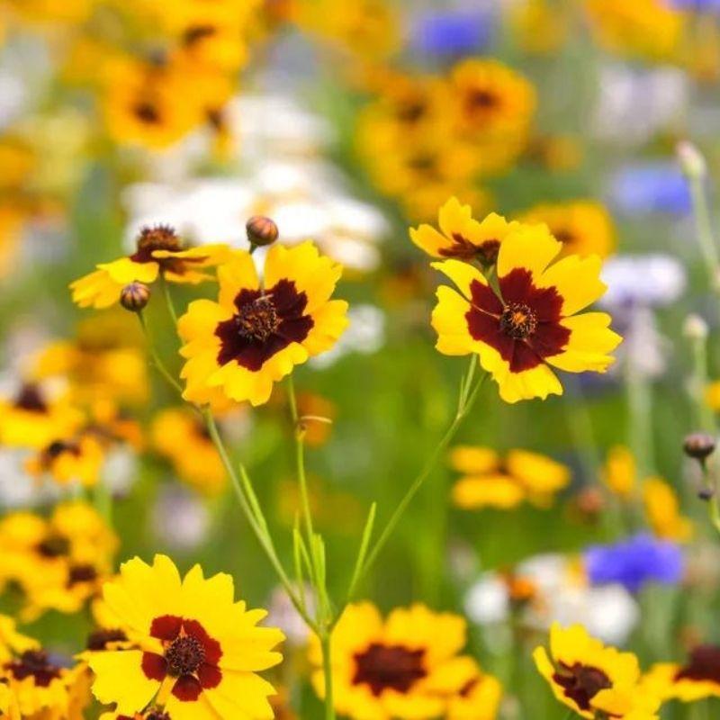 coreopsis tickseed flowers