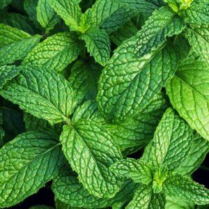 bright green organic mint leaves