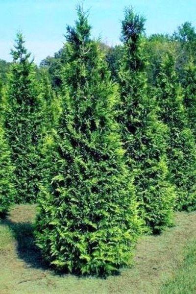 rows of thuja green giant arborvitaes making long hedge