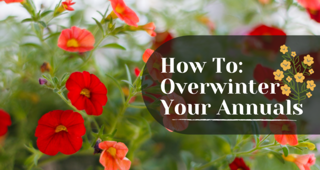 How to: Overwinter Your Annuals