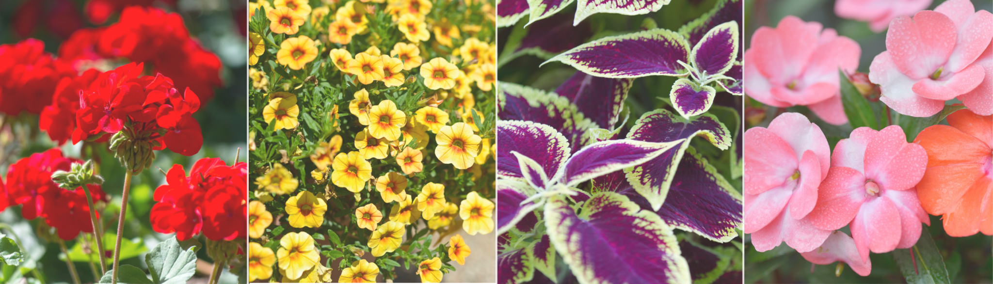 Overwintering annuals